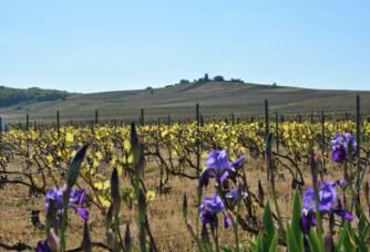 Vignoble fleuri chez Quenardel & Fils