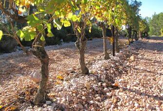 Rangée de vignes du Château Gilbert & Gaillard