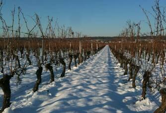 Vigne enneigée au Domaine La Chevallerie
