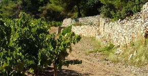 Vignes du Château Cabezac