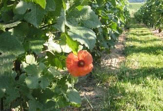 Au coeur des vignes du Champagne Lejeune