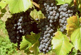 Les grappes de raisins du Château Vieux Rivallon