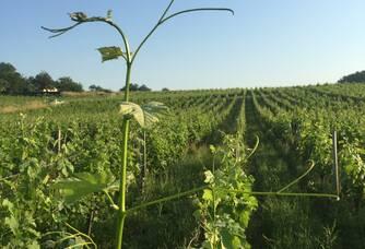 Le vignoble du Clos du Mounat