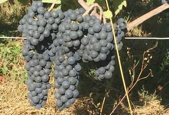 Grappes de raisin du Domaine du Clos du Mounat