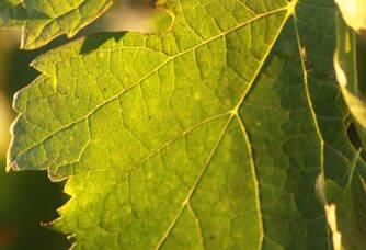 Feuille de vigne du Château Ascumbas