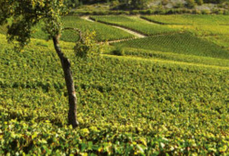 Les vignes du Champagne Prié