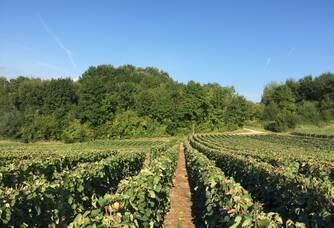 Vignes parcelle La Croisée des Chemins à Vassieux