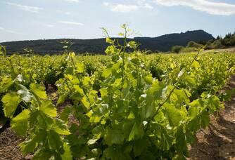 Les vignes du Domaine les Gentillières