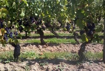 Vignes de gamay du Domaine Serol