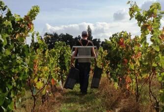 Les vendanges dans les vignobles