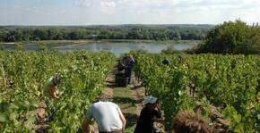 Vendange au-dessus de la Loire