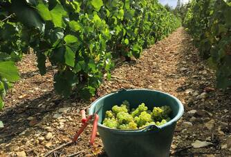 Récolte de nos parcelles de chardonnay