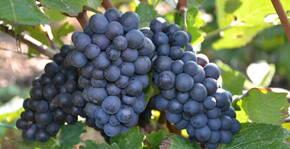 Champagne Robert-Allait - Une grappe de raisins