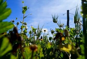 Clos Canereccia - Les vignes enherbées