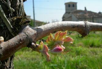 Clos Monicord - La vigne en fleur