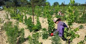Domaine Massillan - Les travaux agricoles