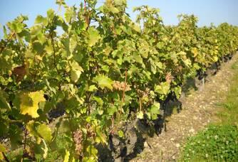 Domaine Paris Père et Fils - Pied de vigne