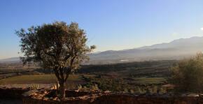 Domaine Força Réal - Un arbre qui domaine le vignoble