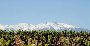 Domaine Força Réal - Les vignes devant la montagne