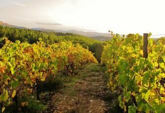 Domaine d'Anglas - Les rangs de vigne