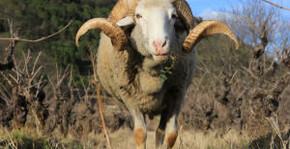 Domaine d'Anglas - Les moutons du domaine