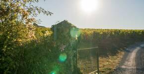 Caves de la Loire - La vigne