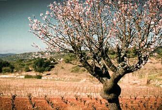 Clos de l'Amandaie - Un arbre centenaire au milieu du vignoble