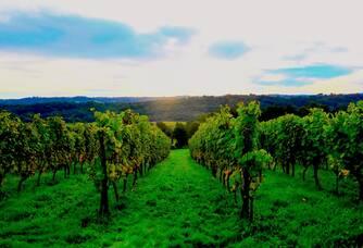Vignes en septembre - Domaine de la Caillabère