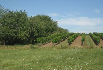 Les vignes du Château Le Terme Blanc