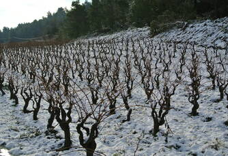 Les vignes eneigées du Domaine Mp Berthier