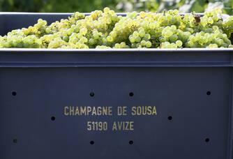 La belle récolte des vendanges au Domaine Champagne De Sousa