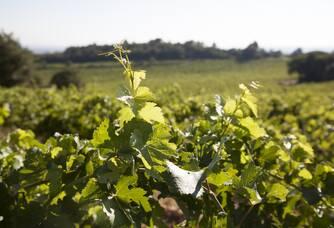Vue des vignes du Domaine des Maravilhas