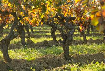 Les pieds de vignes du domaine de Prés-Lasses