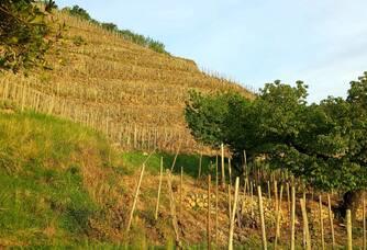La partie du vignoble du Domaine Guy Farge en terasse