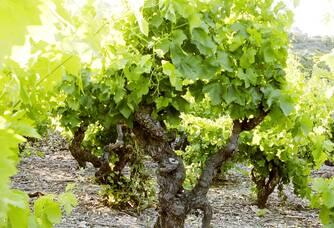 Un cep de vigne du Domaine Lerys