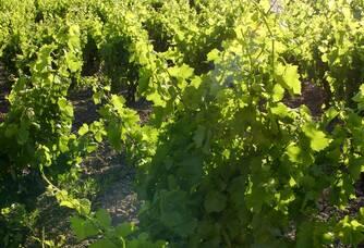 Les vignes du Domaine Lerys