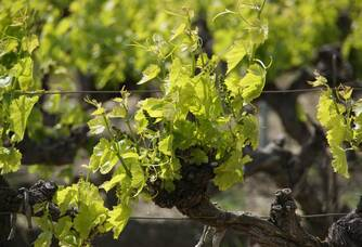 Les pieds de vigne du Domaine Rozel