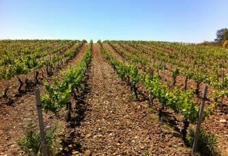 Le vignoble du Mas Baux