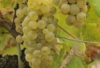 Des grappes de raisins blancs des Vignobles Ducourt