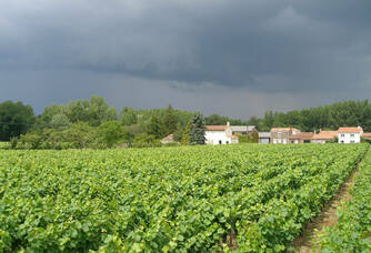 Vue sur les vignes du Domaine de la Tourlaudière
